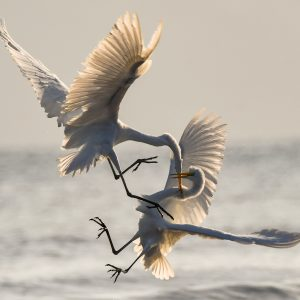 Two birds at the ocean, fighting. Maybe not sibling rivalry.
